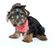 Cowboy Yorkie Puppy — Stock Photo