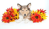 Fall Collie Puppy — Stock Photo
