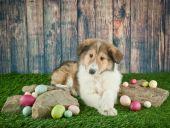 Easter Collie Puppy — ストック写真