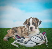 Bulldog Puppy — Stock Photo