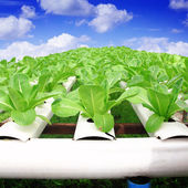 Hydroponics method of growing plants using mineral nutrient solu — Stock Photo