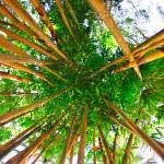 Golden bamboo  — Stock Photo #52942231
