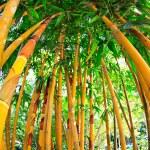 Golden bamboo  — Stock Photo #52942241