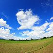 Rice fields in row with blue sky — Stock Photo #52943681