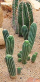 Green cactus in dry soil — Stock Photo