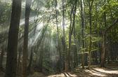 Sunbeams in woods. Sun rays — Fotografia Stock