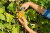 Young man, vine grower, harvesting grapes in the vineyard. — Stock Photo