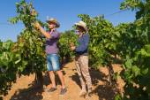 Young couple, vine growers, in the vineyard. — Stock Photo