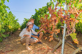 Disappointed farmers inspecting mildew parasite infected vines — Stock Photo