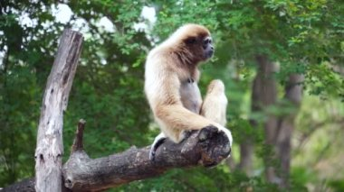Gibbon yawning on tree - Stock video — Stock Video