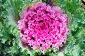 Decorative purple cabbage or kale, Brassica oleracea — Stock Photo