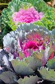 Decorative purple cabbage or kale, Brassica oleracea. Selective focus — Stock Photo