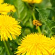 Pollen covered bee flying away from dandelion — Stock Photo #73226283