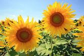 France - Sunflowers — Stock Photo