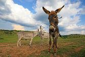 Animaux de la ferme — Stock Photo