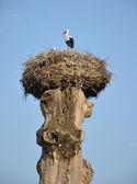 Cigüeña en un nido en un árbol viejo — Foto de Stock