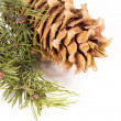 The cedar cone with a branch — Stockfoto #62278037