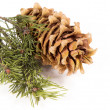 The cedar cone with a branch — Stock fotografie #62278039