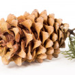 The cedar cone with a branch — Stockfoto #62278057