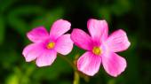 Pink Oxalis glabra flower on green leaf in japan — Stock Photo