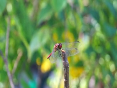 Dragonfly in japanese garden — Стоковое видео