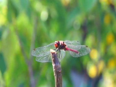 Dragonfly in japanese garden — Vídeo de Stock