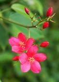 Spicy Jatropha flower on green nature background — Stock Photo