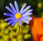 Blue dasy flower — Stock fotografie