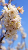 Cherry tree, white cherry blossoms in Nobeoka Miyazaki Japan — Foto Stock