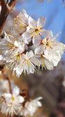 Cherry tree, white cherry blossoms in Nobeoka Miyazaki Japan — Fotografia Stock