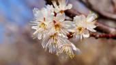 Cherry tree, white cherry blossoms in Nobeoka Miyazaki Japan — Foto de Stock
