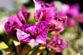 Close up bougainvillea flower — Foto Stock