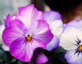 Close up  Viola flowers  in japanese garden — ストック写真