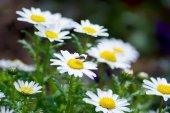 Leucanthemum paludosum, Flower-beds in the spring in Japan — Stock Photo