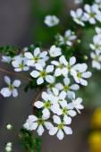 The white spirea ,Spiraea thunbergii flower — Stock Photo