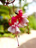 Fuchsia flowers in japanese garden — Stock Photo