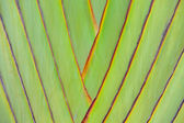 Ravenala madagascariensis background — Stock Photo