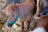 Dwarf horse  — Stock Photo