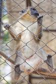 Orangutan in captivity — Stock Photo