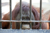 Orangutan in captivity — Stock Photo