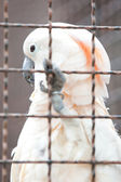 Moluccan cockatoo in a cage — Stock Photo