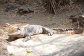 Closeup eye of a saltwater crocodile — Stock Photo