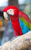 Beautiful Scarlet macaws — Stock Photo