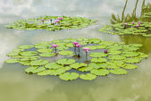 Water lily in the lake — Stock Photo