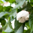 Cotton Plant Ready for Harvest — Stock Photo #56656295
