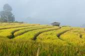 Terraced rice fields in northern Thailand ,Pa pong peang, Chiang — Stock Photo