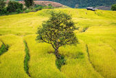 The tree on terrace rice field in northern Thailand ,Pa pong pea — Stock Photo