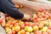Human hands holding fresh ripe tomatoes.  — Stock Photo