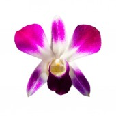 Orchid on the white background — Stock Photo