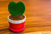 Heart-shaped tree in a pot on a wooden table. — Stock Photo